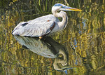 Great Blue Heron (Ardea herodias)in Everglades National Park, Florida.