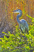 Great Blue Heron (Ardea herodias) along Anhinga Trail in Everglades National Park, Florida.