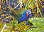 Purple Gallinule (Porphyrio Martinicus) in Everglades National Park