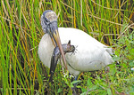 Wood Stork (Mycteria americana) uses tacto-location to capture a catfish prey in Everglades National Park, Florida.