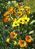 Spring flower art - daffodils