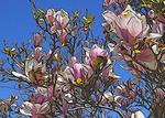 Spring flower art - magnolia
