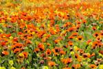 Armenia spring flowers.