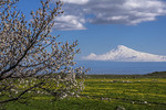 Mount Ararat near Yerevan with spring blossoms on tree.