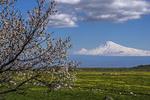 Mount Ararat near Yerevan with spring blossoms on tree.