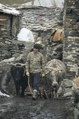 Oxen team in Ushguli, Upper Svaneti village in Caucasus Mountains of Georgia