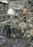 Oxen team in Ushgali, village in Upper Svaneti region of Caucasus Mountains of Georgia.