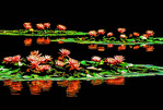 Hangzhou's West Lake lotus blossums on pond in Island of Small Seas