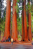 Tourists with giants of Sequoia National Park, California, USA.