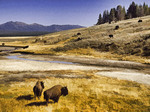 Bison in Yellowstone National Park in autumn, Wyoming, USA.