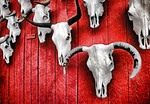 Steer skulls on barn door near Taos, New Mexico.