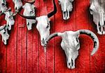 Steer skulls on barn door near Taos, New Mexico.