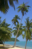Coconut palms on beach on Koh Samui, Thailand.