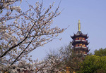 Jiming Pagoda with cherry blossoms in spring in Nanjing.