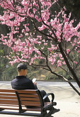 Man reading on park bench with spring blossoms in park in Nanjing.