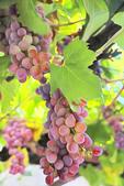 Grapes in vineyard at Godinje Historical Village, Virprazar, Montenegro.