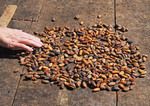 Cacao beans beginning to dry in sun at Women's Chocolate Cooperative, Chocal, near Puerto Plata, Dominican Republic.
