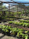 Cacao plant nursery at Women's Chocolate Cooperative , Chocal, near Puerto Plata, Dominican Republic.