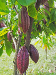 Purple cacao pods at Women's Chocolate Cooperative, Chocal, near Puerto Plata, Dominican republic.