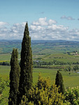 Cypress trees framing the Tuscan countryside near Montalcino.