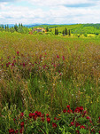 Spring wildflowers in Tuscany's Val d'Orcia countryside.