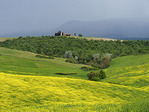 Rapeseed field in bloom in spring in the Val d'Orcia of Tuscany near Pienza.