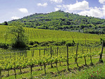 Vineyard with medieval Tuscan town of Montalcino above.