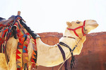 Camel in front of The Treasury at Petra.  --photo art painting, watercolor