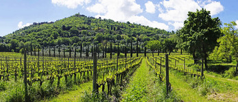 Panoramic of vineyard with medieval Tuscan town of Montalcino above.