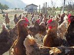 Austrian chicken farm.