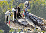 Brown pelicans lined up on a roof overlooking harbor at San Antonio, Chile.