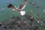Seagulls and sea lions scrambling in feeding frenzy for fish scraps thrown in harbor by local fishermen at San Antonio, Chile.