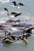 Sea gulls, sea lions, and brown pelicans scramble for fish scraps tossed into harbor by local fishermen at San Antonio, Chile.