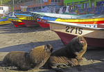 Seal lions and fishing boats on beach at San Antonio, Chile.
