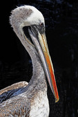 Brown pelican profile at harbor of San Antonio, Chile.