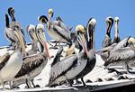 Brown pelicans at harbor of San Antonio, Chile.