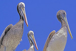 Brown pelicans at harbor of San Antonio, Chile.