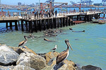 Sea lions clustered for a feeding frenzy of fish scraps tossed by local fishermen from pier at San Antonio, Chile.