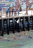 Tourists watching sea lion on pier of harbor at San Antonio, Chile.