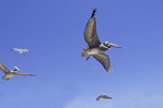 Brown pelicans and a seagull at harbor of San Antonio, Chile.