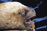 Sea lion profile, San Antonio, Chile.