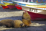 Sea lions and fishing boats on beach at San Antonio, Chile.