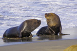 Young sea lions on beach of harbor at San Antonio, Chile.