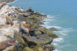 Sea lions sunning on rocks along harbor of San Antonio, Chile.