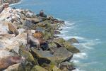 Sea lions sunning on rocks along harbor of San Antonio, Chile.