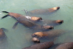 Sea lions swimming in harbor of port of San Antonio, Chile.