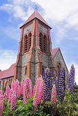 Lupines in lawn of the Christ Church Cathedral in Port Stanley, The Falkland Islands (Malvinas).