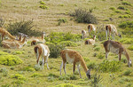 Guanaco grazing in Torres del Paine National Park in Patagonia region of Chile.