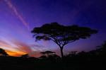 Umbrella acacia tree at a safari camp silhouetted at dawn on the Serengeti Plains in Tanzania.