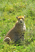 Cheetah in high grass on southern Serengeti Plains in Tanzania.